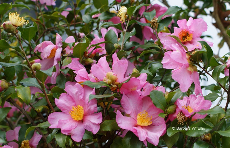 Welcome to eastern shore gardener and hackberry point for Camelia sasanqua
