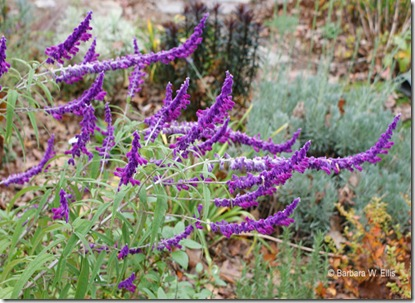 Salvia-leucantha