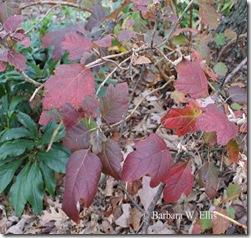 Foliage-H-quercifolia