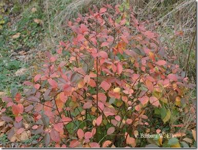 Foliage-Itea