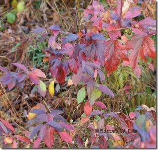 Foliage-Ninebark