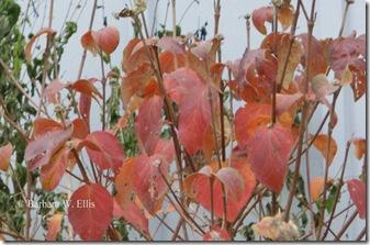 Foliage-Viburnum