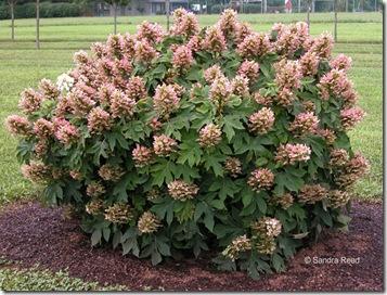 Hydrangea-Munckin-plant