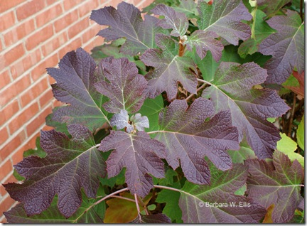 Hydrangea-quercifolia-fall-