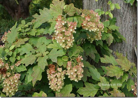 Hydrangea-quercifolia-fall