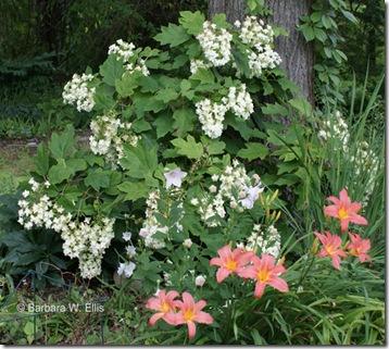 Hydrangea-quercifolia