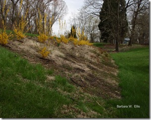 Forsythia-roadside-planting