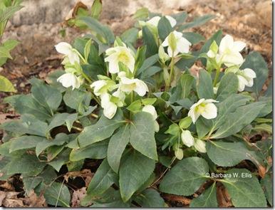 Helleborus-Green-Corsican