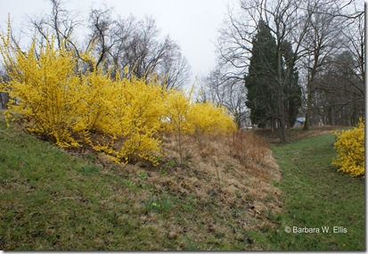 Roadside-Forsythia-2011