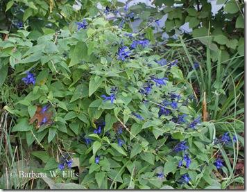 Salvia-B&B-plant