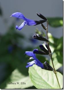 Salvia-guaranitica-'Black-a