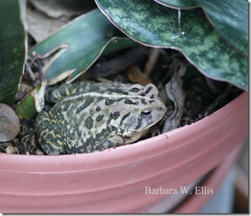 Toad-sansiveria