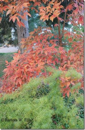 Acer-triflorum-Amsonia-hubr