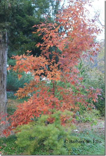 Acer-triflorum-Amsonia