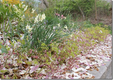 Epimedium-rubrum-and-magnol