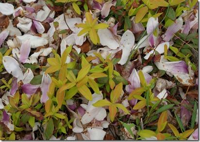 Hypericum-calycinum-'Brigad