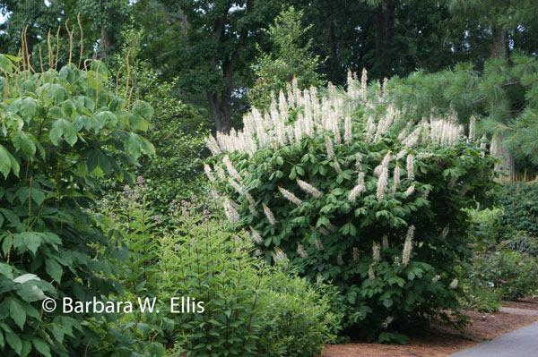 Shrubs for summer flowers in shade eastern shore gardener for Shrubs for garden borders