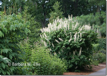 Aesculus-parviflora-border