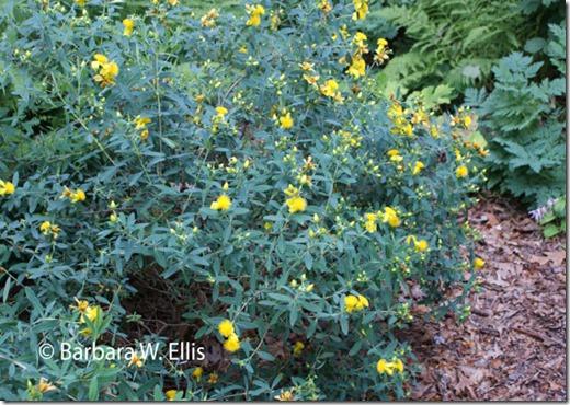 Hypericum-frondosum-'Blue-F