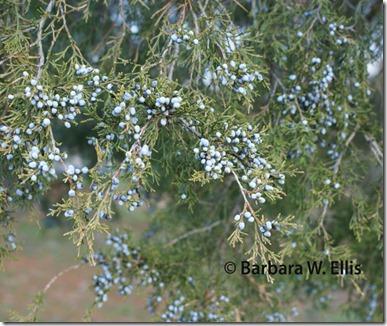 Juniperus-virginiana-berrie