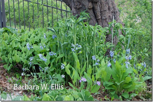 Polygonatum-biflorum-commut
