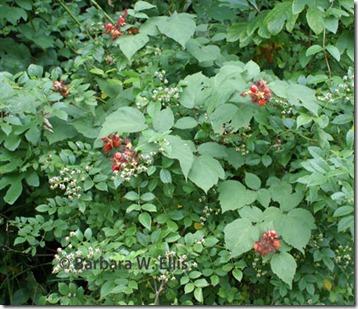 Wineberry