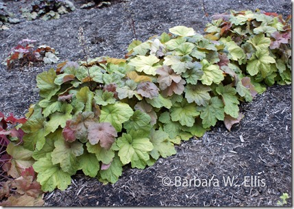 Row-of-Heuchera-'Southern-C