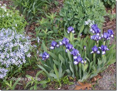 Iris-Quicken