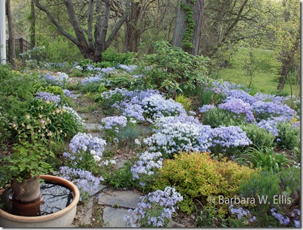 Phlox-in-spring