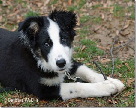 Gryff-pup