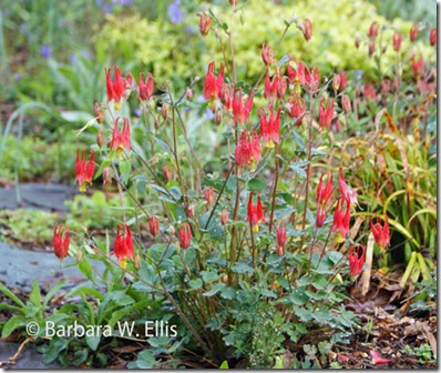 Aquilegia-Little-Lanterns