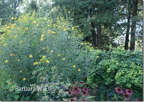 Mt.-Cuba-Coreopsis-tripteris-'Gold-Standard',-Passiflora-lutea,-Echniacea-'Pica-Bella'